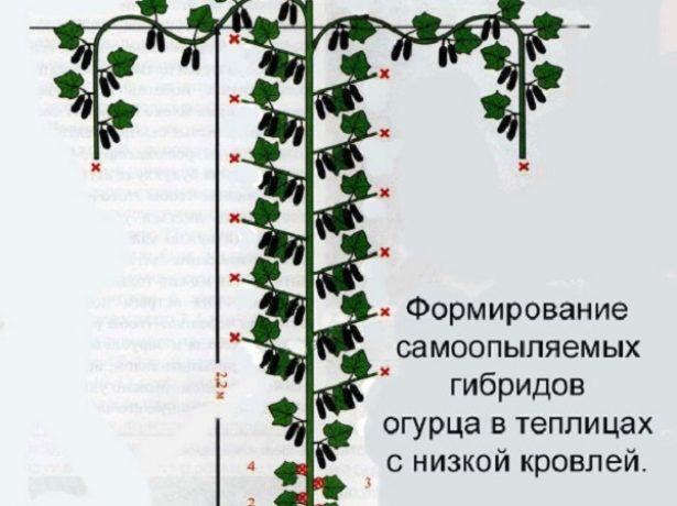 Гібрид зятек балує достатком огірків з весни до осені