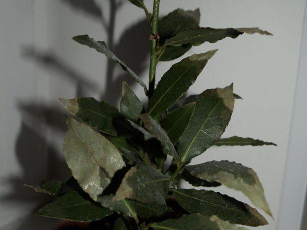 Лавр благородний: вирощуємо приправу на підвіконні