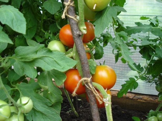 Спалах-відмінний сорт смачних ультраранніх томатів