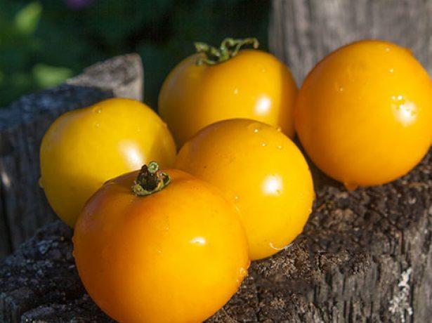 Стійкі томатні солдатики: штамбові сорти помідорів