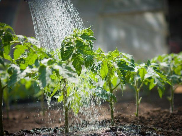 Томати без поливу: вирощування за методом казаріна