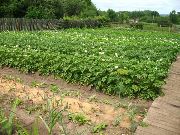 Що не можна садити на ділянці: заборонені рослини і наслідки для садівника