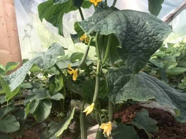 Вирощування огірків методом щеплення: покращена холодостійкість і підвищена врожайність
