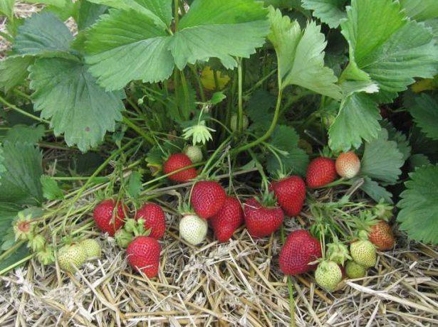 Пізня садова суниця флоренс: як отримати урожай смачних ягід в липні