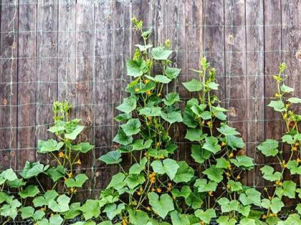 Лібелле f1-старовинний огірок для відкритого грунту
