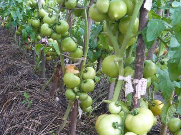 Ранньостиглий гібрид томатів примадонна f1: вдале поєднання невибагливості і високої врожайності