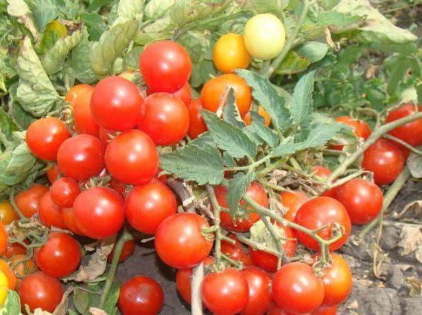 Сорт піноккіо-карликовий томат для вирощування на балконі і підвіконні