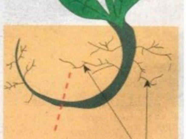 Голландські «петельки»: незвичайна пікіровки розсади томатів корінням вгору