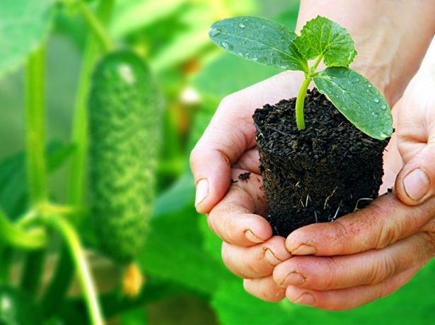 Огірок кібрія f1: голландський гібрид для цілорічного вирощування