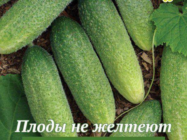 Огірок витончений: понад півстоліття в строю