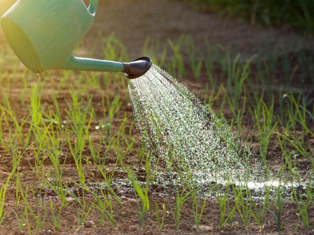 Як правильно поливати цибулю, щоб отримати хороший урожай