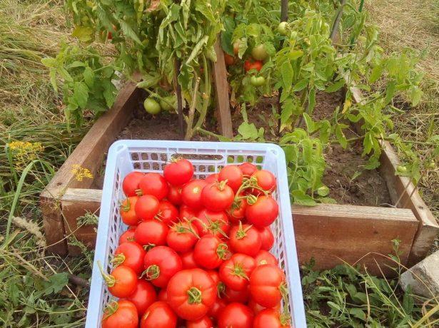 Ранній томат любаша-багатообіцяюча новинка
