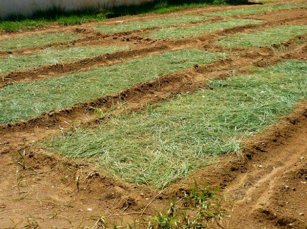 Не заважайте картоплі рости! посадка і вирощування по картелеву