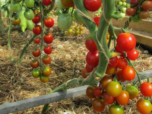 Томат вишня червона: прикраса страв і просто задоволення