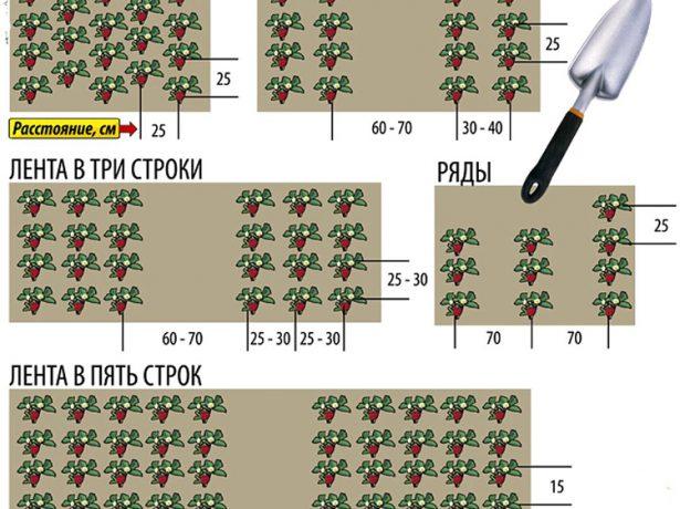 Ремонтантна суниця: вибір сорту, посадка і особливості агротехніки