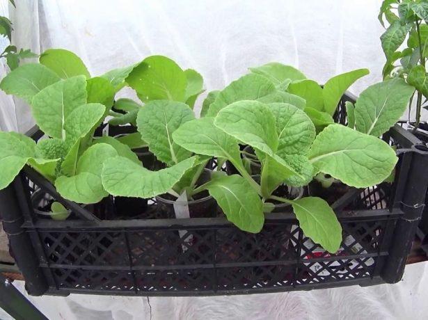 Терміни посіву пекінської капусти на розсаду