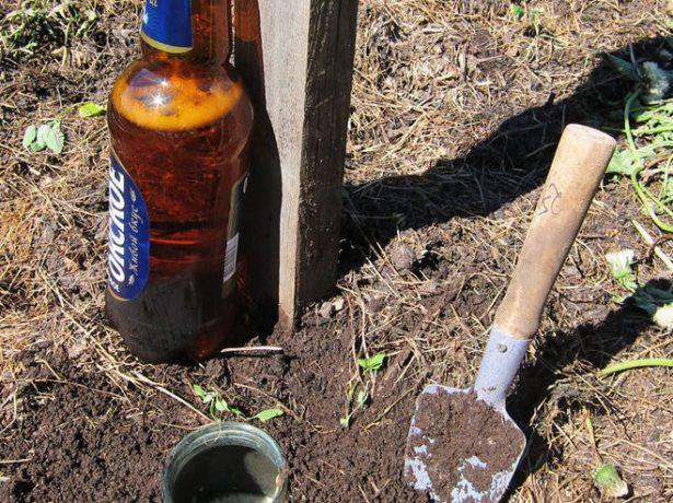 Всеїдна капустянка: як захистити урожай від шкідника