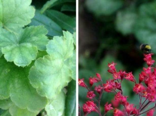 Багатолика гейхера: різноманітність видів і сортів