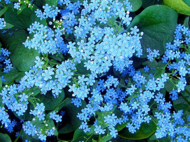 Декоративна бруннера-блакитні квіткові хмарки і фактурні листя