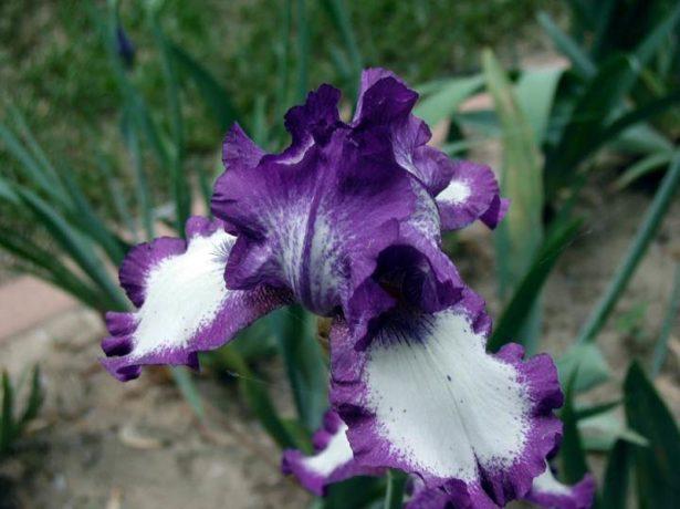 Види і сорти ірисів для садових ділянок: вологолюбні і сухолюбні, кореневищні і цибулинні