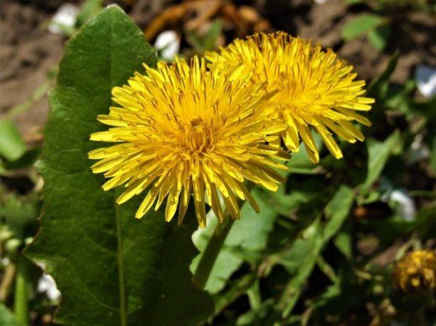 Буряни на дачі-користь для врожаю і для нашого здоровя