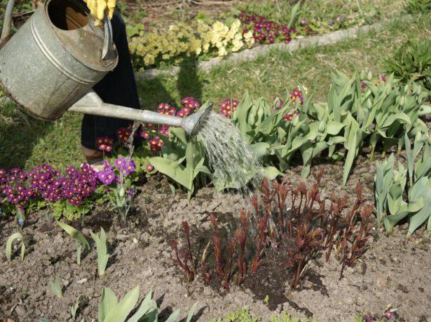 Розкішні півонії: особливості весняного догляду