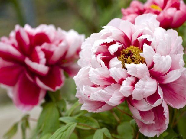 Чарівна розкіш: види і сорти півоній для російських садів