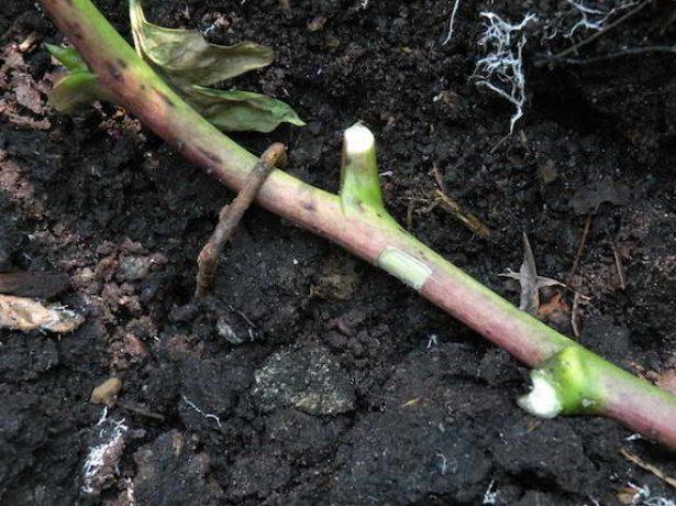 Деревовидні півонії: догляд і вирощування