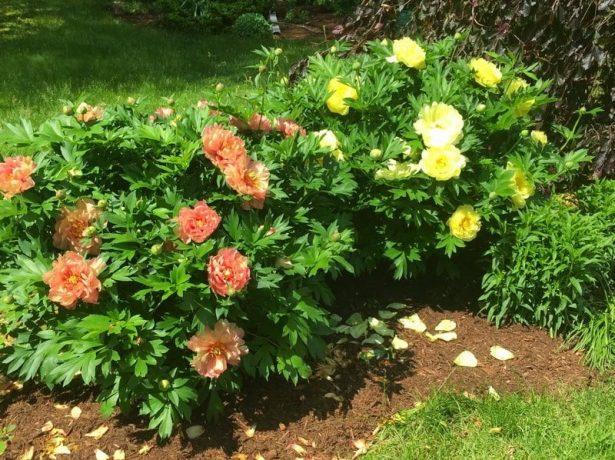Іто-півонії: гідна прикраса вашого квітника