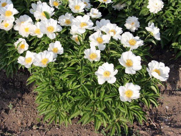 Скромне чарівність японських півоній: як вибрати і доглядати за рослинами