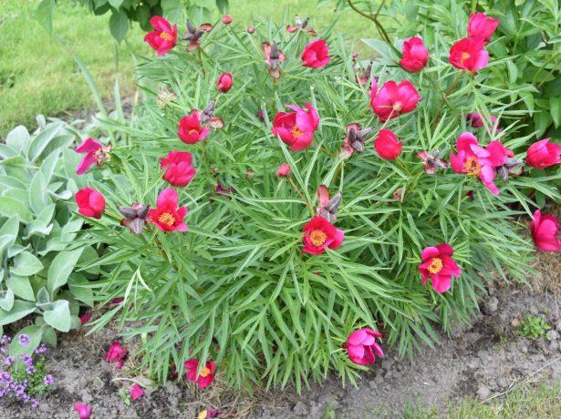 Півонія тонколиста: ажурна листя і ефектні квіти