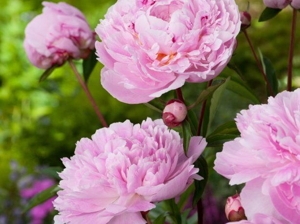 Чарівний подарунок весни: кращі сорти рожевих півоній