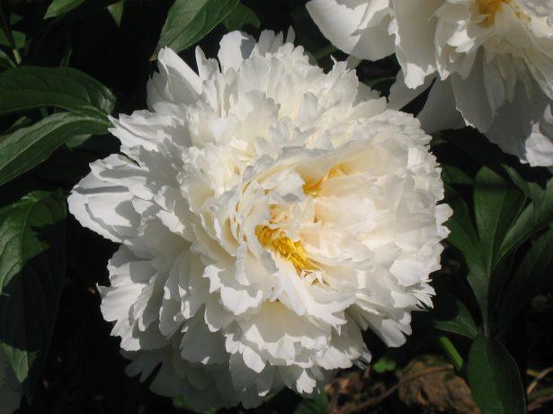 Молочноцветковие півонії-китайські гості в наших садах