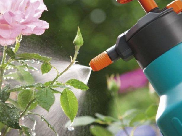 Жуки на трояндах: як позбутися за допомогою народних і хімічних засобів