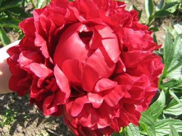 Мсьє в червоному: добірка кращих сортів півоній червоних і бордових відтінків