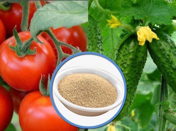 Для чого потрібні дріжджі на помідорних і огіркових грядках