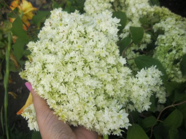 Гортензія: двадцять улюблених сортів російських садівників