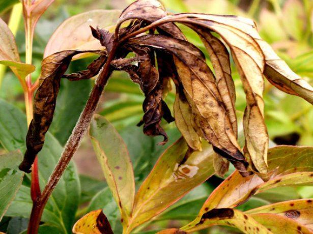 Деревовидні півонії: які вони бувають і чи варто їх садити на ділянці