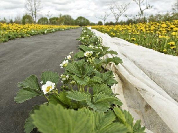 Полуниця добре цвіте, а завязі мало: причини і вирішення проблеми