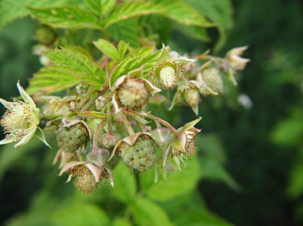 Правильний полив малинника влітку-запорука гарного врожаю