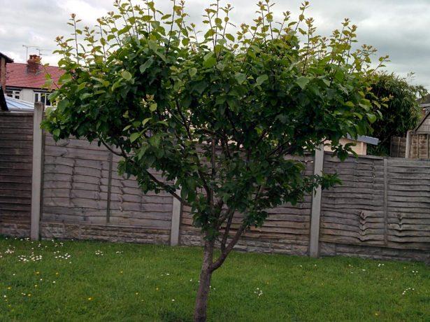 Щеплення персика на сливу, або як додати південному фрукту нордичний характер