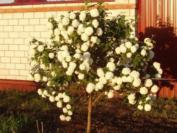 Калина бульденеж-білосніжна красуня в саду
