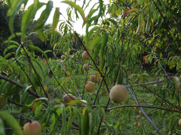 Підщепа для персика: як вибрати відповідний і морозостійкий
