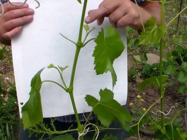 Як не втратити урожай винограду, типові помилки догляду в червні-липні