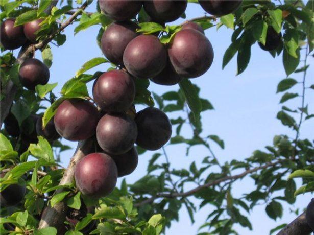 Незвичайні чорні абрикоси: кращі сорти, посадка і догляд