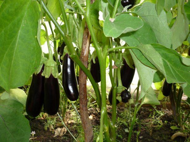 Раціон баклажанів в липні: підгодівлі для великого врожаю