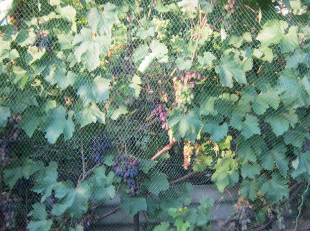 Як не дати осам знищити урожай і врятувати грона винограду