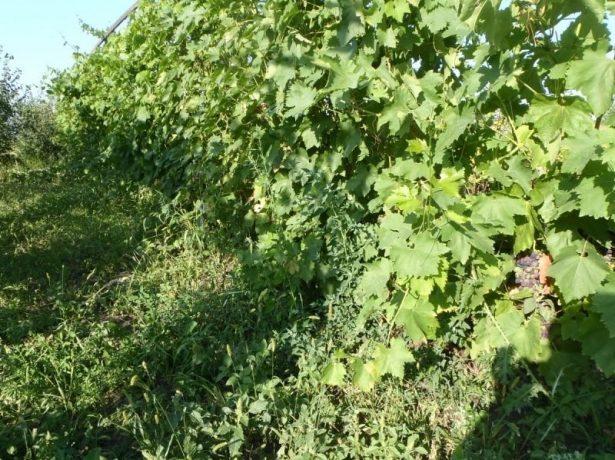 Як і коли проводять обрізку винограду влітку
