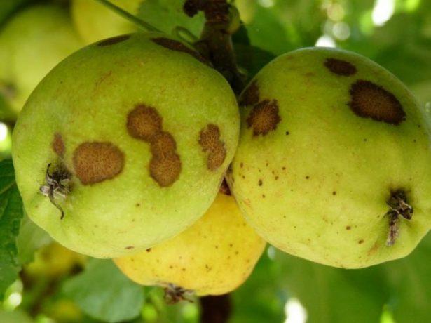 Парша на яблуні і груші: чим обприскати під час дозрівання плодів