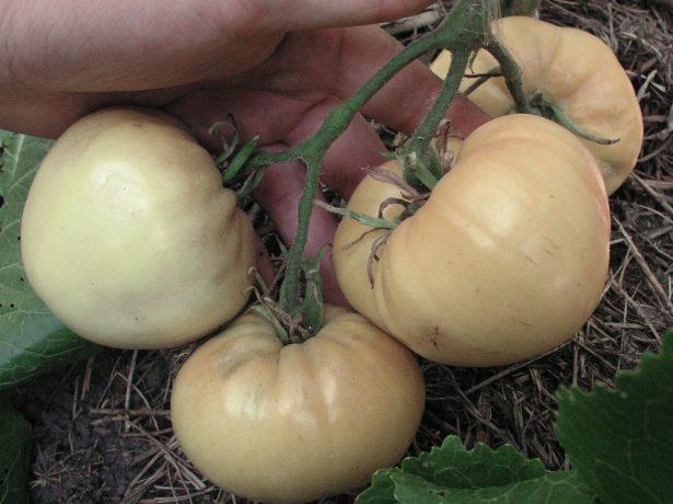Веселка на грядці: різнокольорові томати-де більше користі?